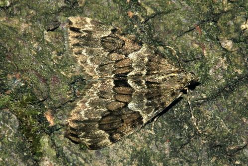 Spruce Carpet  8606