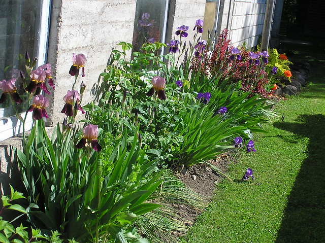 Tulips bed with bearded isises