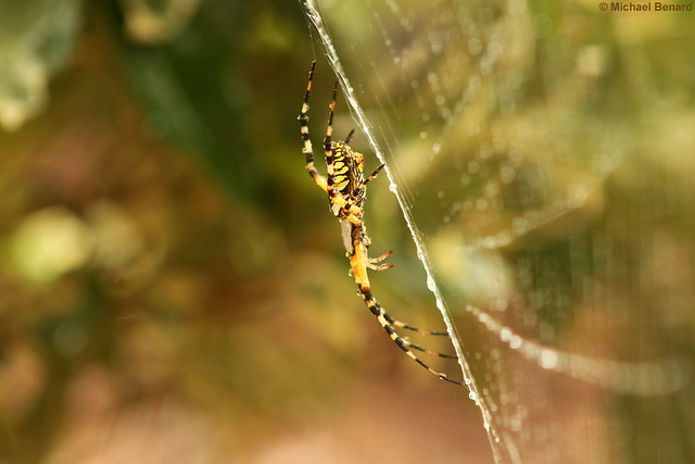 Yellow garden spider after the rain
