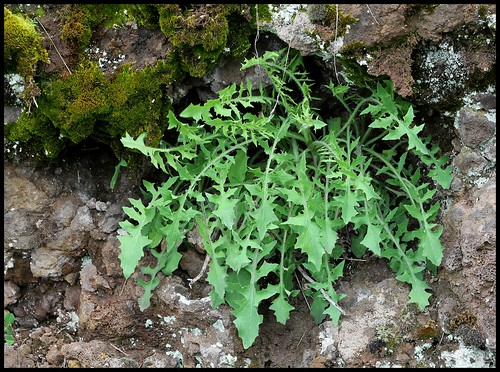 Lactuca perennis - laitue vivace 28456964681_f5f094f302