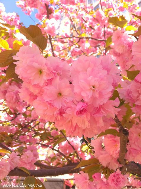 kwanzan_blossoms3_web