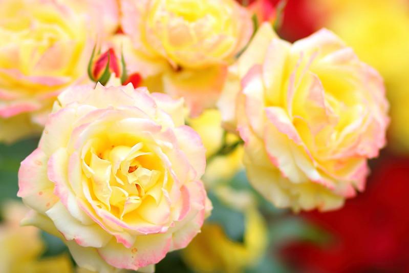 トロピカルシャーベット (Rose)