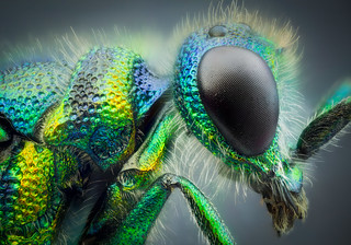 Studio stack: Cuckoo wasp | by johnhallmen