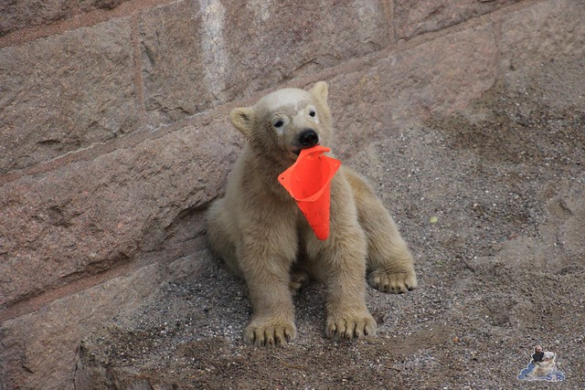 Eisbär Fiete im Zoo Rostock 23.05.2015 158