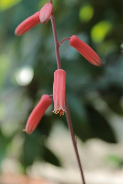 Aloe 'Donnie' 18410518580_e6823c2d23_z