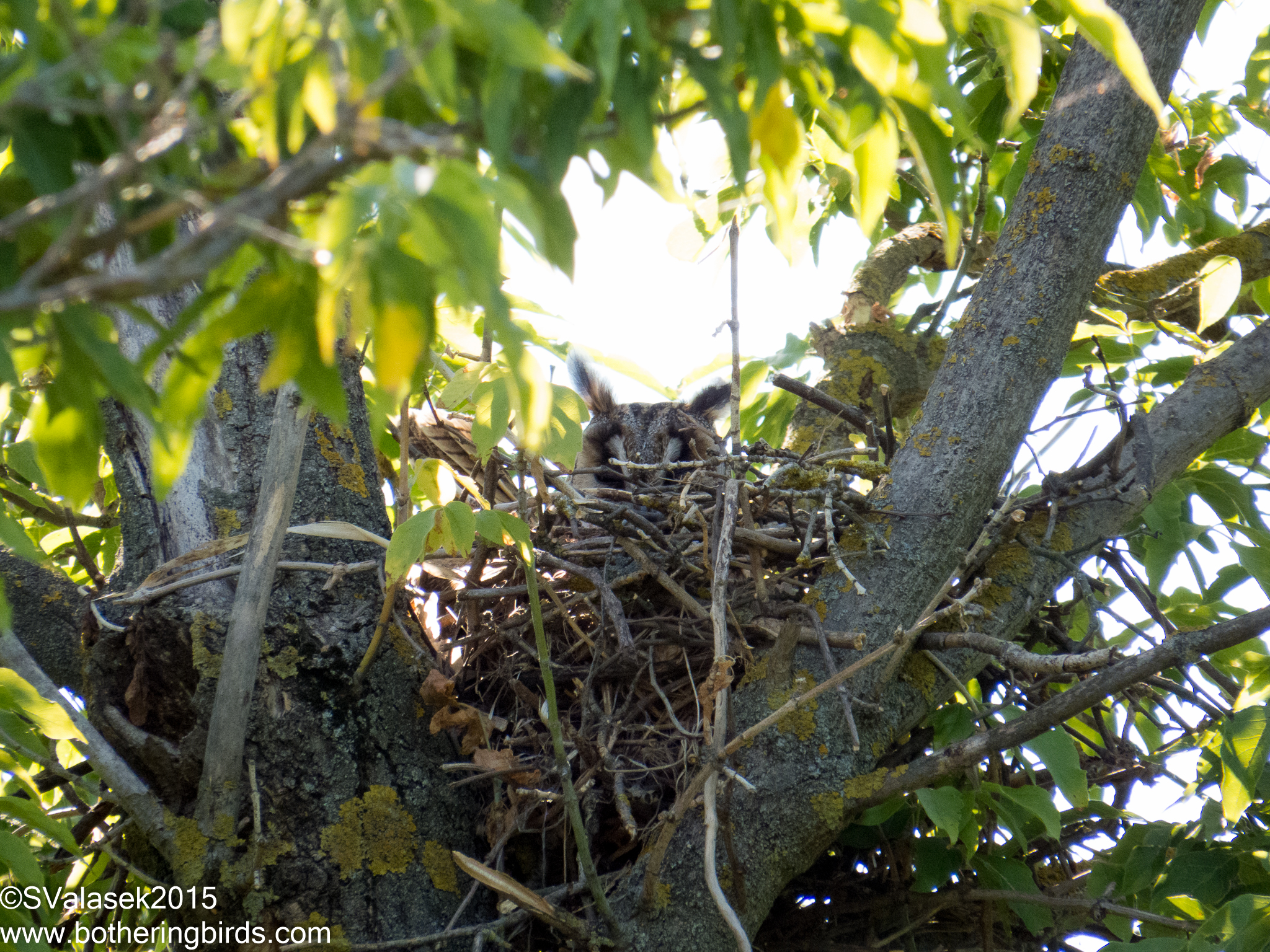Long-Eared Owl on nest