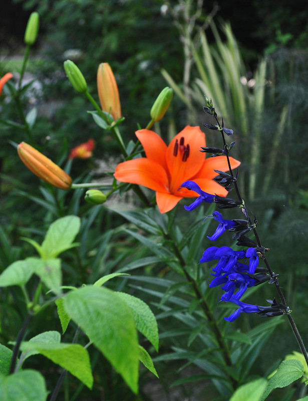 Salvia guaranitica 'Black and Blue' and Lilium 'African Queen'