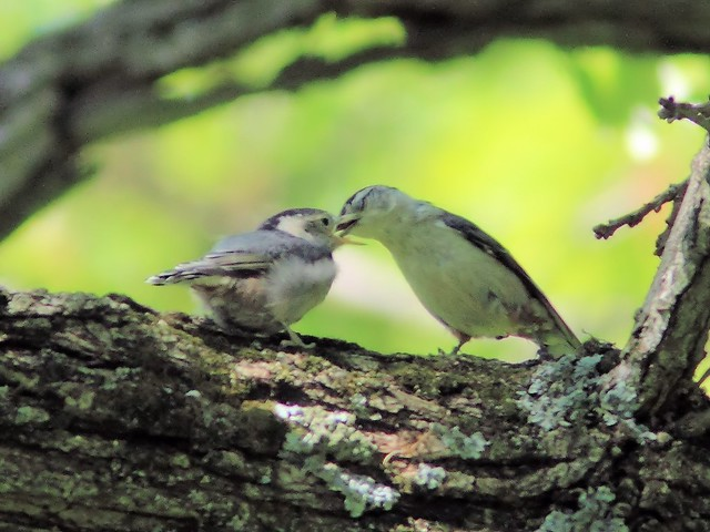 White-breasted Nuthatch fledgling 3-20150521