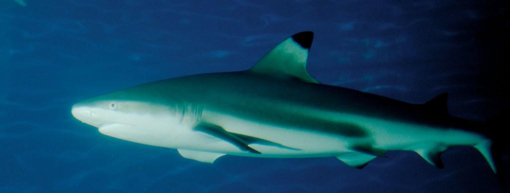 Shark_6