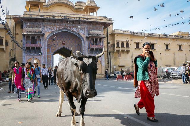 A cow walking on the street, Jaipur, India ジャイプール、風の宮殿近くの門の前を歩く牛さん