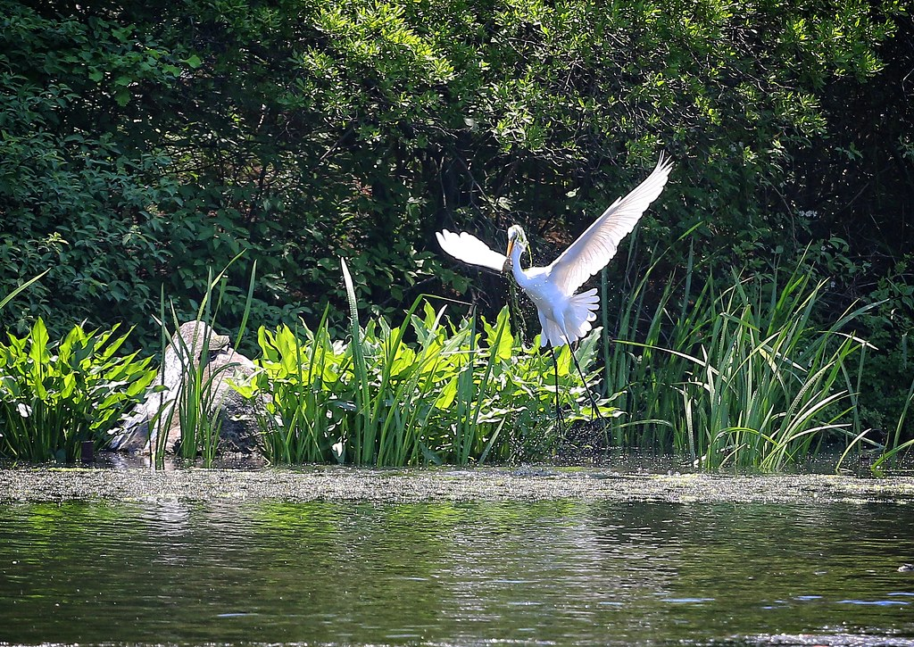Great egret catches a fish