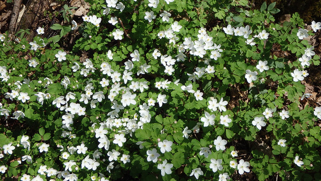 yet another patch of white flowers, each with five petals