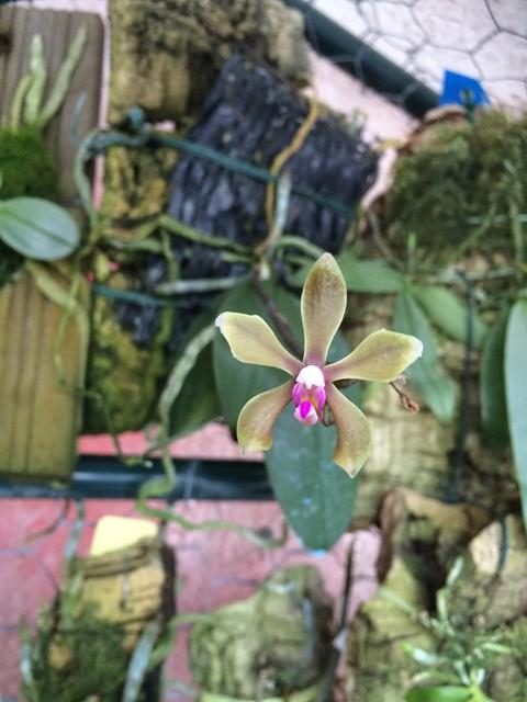 Phalaenopsis braceana 18050619730_568acd091b_z