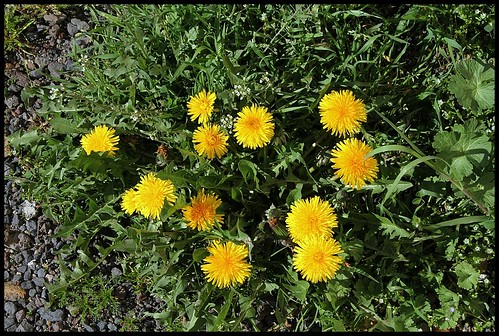 Taraxacum officinalis - groupe (7)