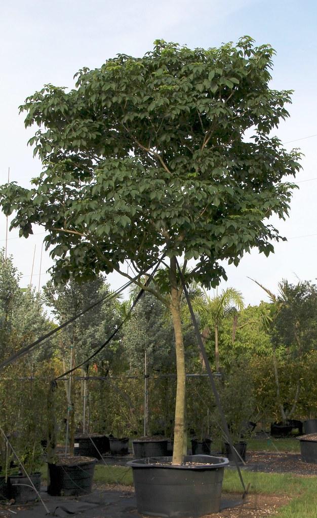 Piscidia Piscipula (Jamaica Dogwood) | Piscidia Piscipula ...