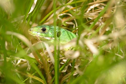 Smaragdeidechse - Juvenile Green Lizard - Lacerta bilineata / Lacerta viridis