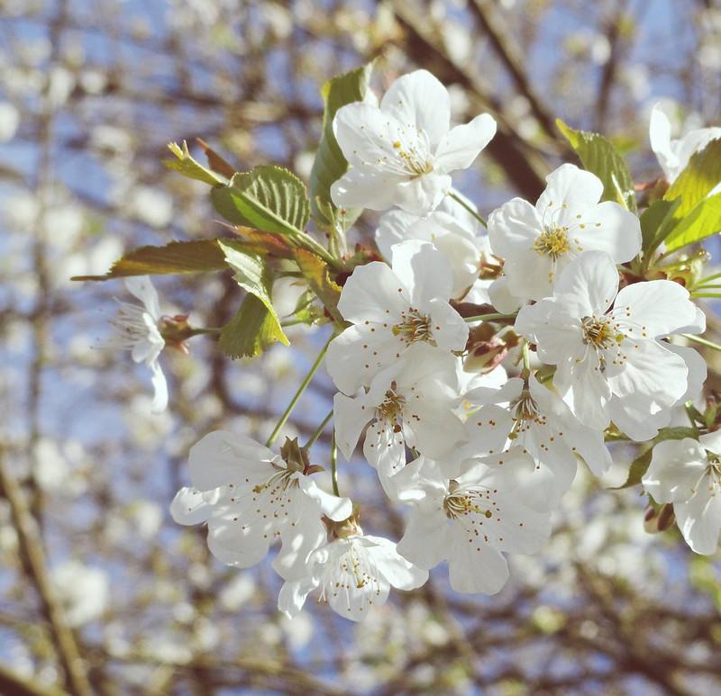 Blossoms in Vlassenbroek, Belgium