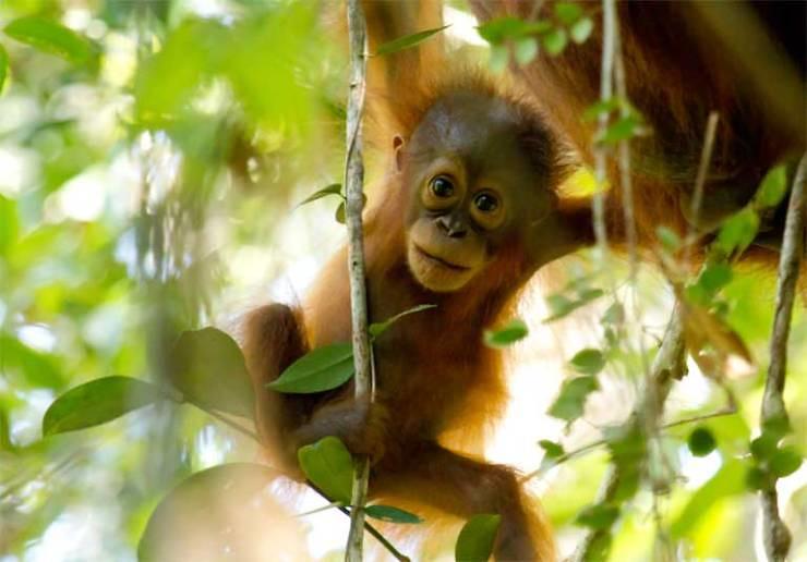 婆羅洲猩猩。圖片來源:Mongabay