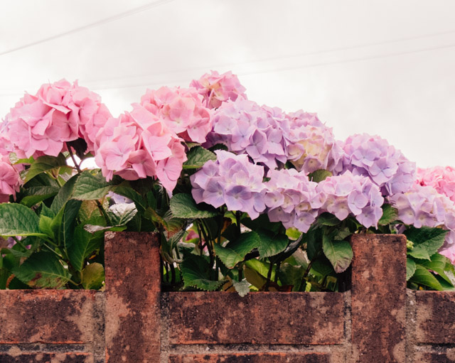 pink and purple hydrangea peeking over wall