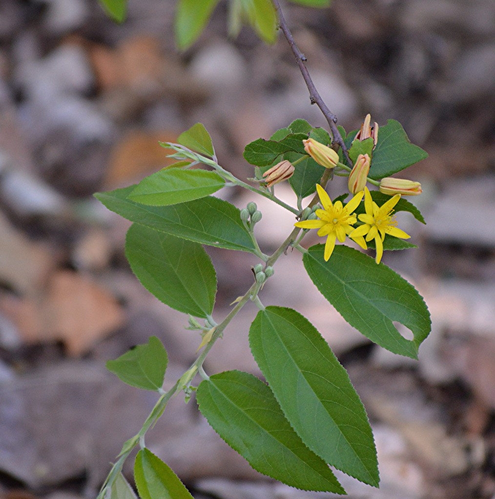 Grewia Bicolor An African Shrub With Bright Yellow Star Flickr