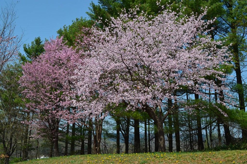 2015 いくたはら公園桜 (3)