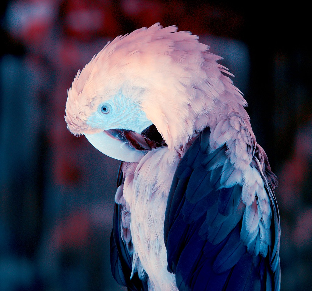 Green Winged Macaw_5