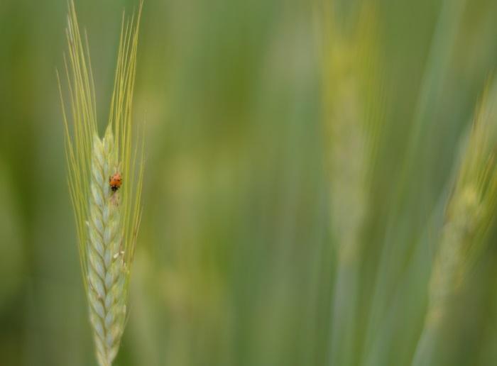 campo di grano, wildflower girl, fashion blog, estate (4)