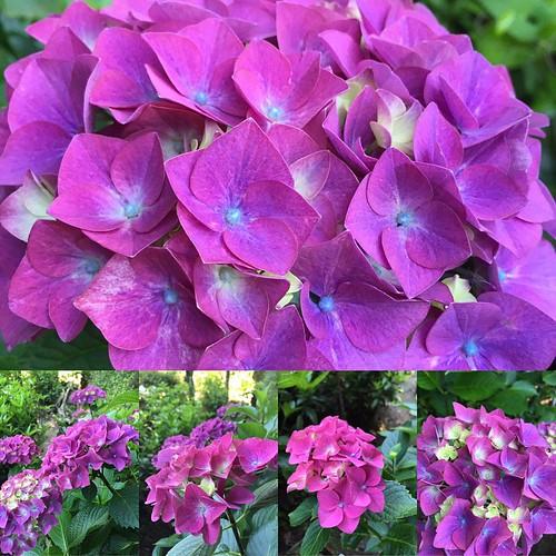 庭の紫陽花、とりあえず今こんな感じ