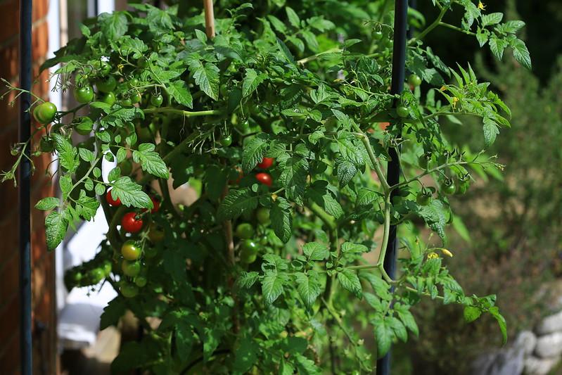Cà chua trong vườn lác đác chín