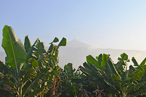 Bananas, Teide, Calima, Orotava Valley, Tenerife