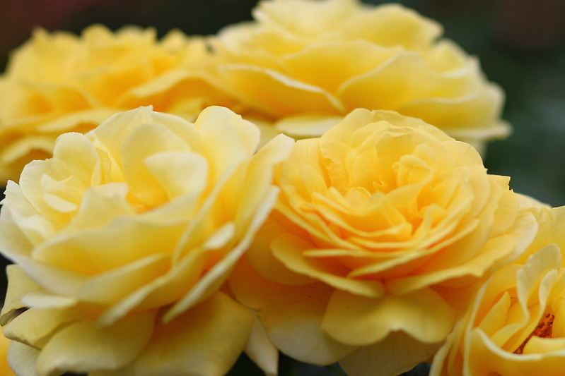 アンティークタッチ・ミケランジェロ (Rose)
