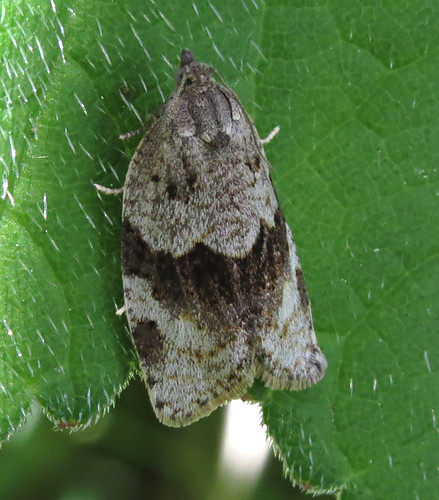 Syndemis musculana Tophill Low NR, East Yorkshire May 2015