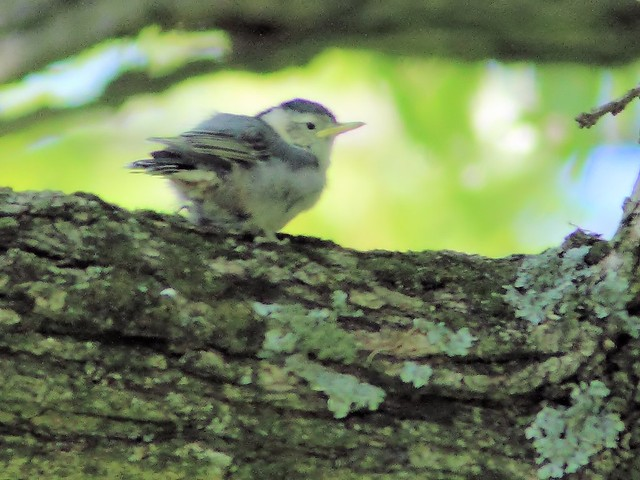 White-breasted Nuthatch fledgling 2-20150521
