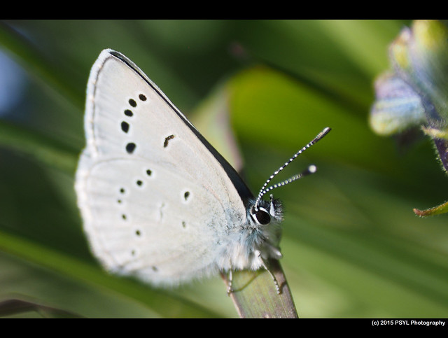 Silvery Blue Butterfly (Glaucopsyche lygdamus)