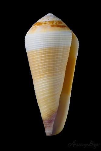 Virgiconus terebra (Born, 1778)