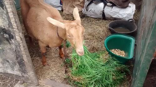 goats May 15 42