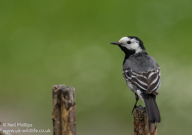 pied wagtail-4