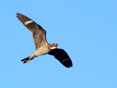 Common Nighthawk 91-20160720