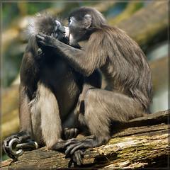 Kissing dusky leaf monkeys