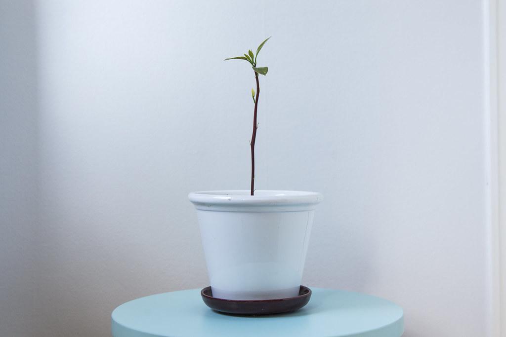 Mango & avocado plants