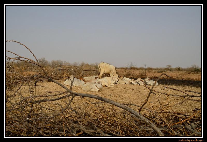 Cattle Enclosure
