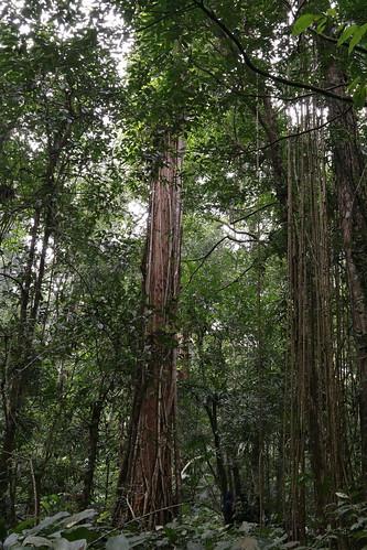 photo of Chinese swamp cypress