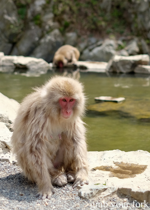 Snow monkey in front of the outdoor onsen in Nagano, Japan