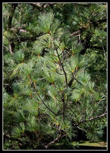Pinus strobus (5)