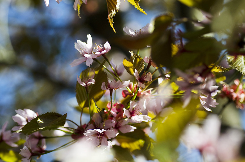 kirsikka16