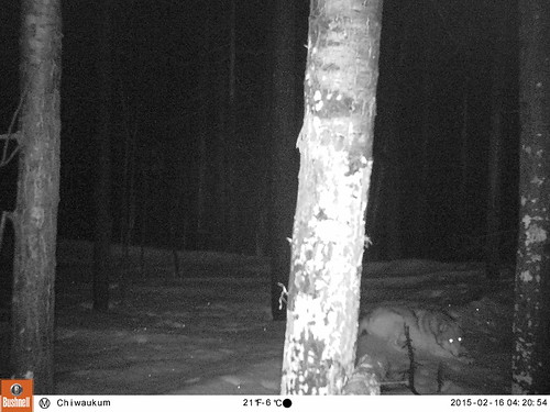 Chiwaukum Wolf, Feb 2015_2. All Rights Reserved CNW and CWMP