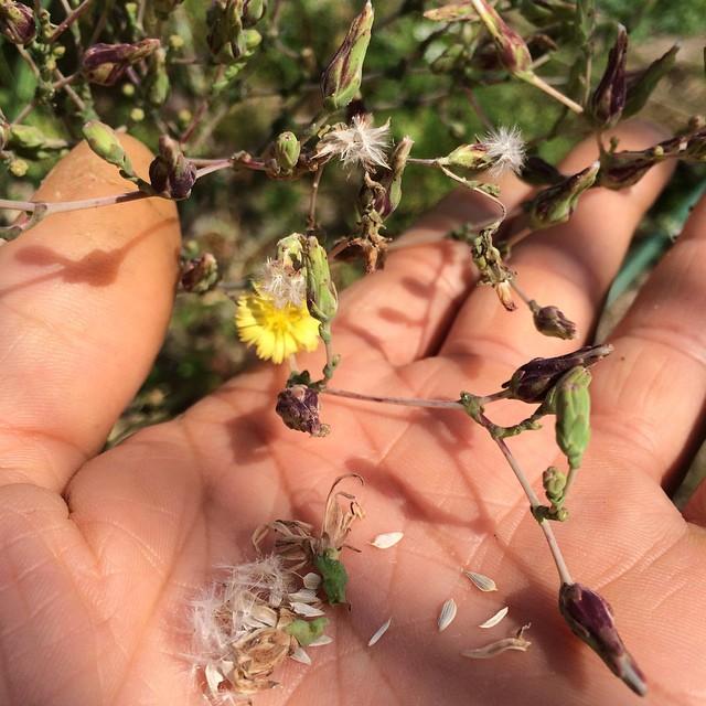 サニーレタスは、タンポポのように花が咲いた後、綿毛のついたタネを飛ばします。