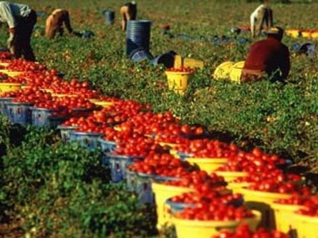 raccolta-pomodori-2