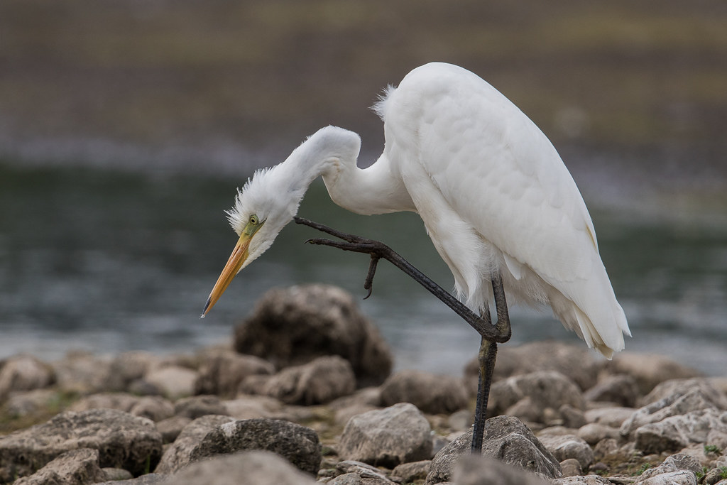 Great White Egret   Conwy RSPB