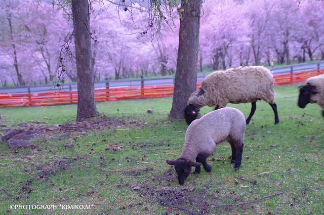 桜とヒツジ
